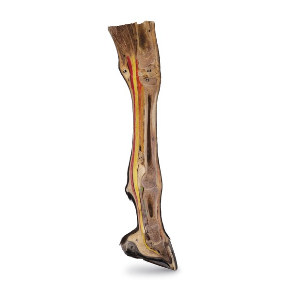 Maqueta de la extremidad distal de equinos