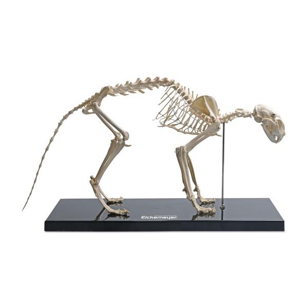 Maqueta de plástico del esqueleto de gatos